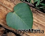 campione omaggio tè alle erbe della foresta amazzonica mini