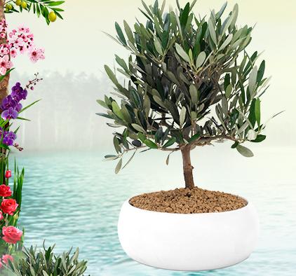 Bonsai omaggio da palmolive premio sicuro omaggiomania for Acquisto piante olivo
