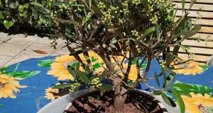 bonsai omaggio ricevuto da Silvia