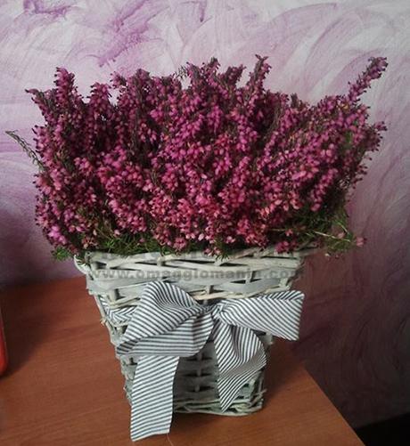 ricevuta pianta fiorita di Erica omaggio