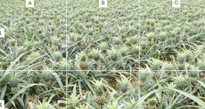 trova ananas Del Monte e vinci contest 25-11-2016