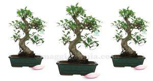 bonsai con Yakult
